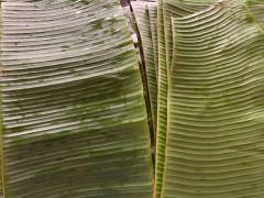 Fresh Banana Leaf Roll (5 Leaves)