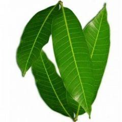 Fresh Mango Leaves 8
