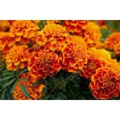 Marigold Flowers 100gm